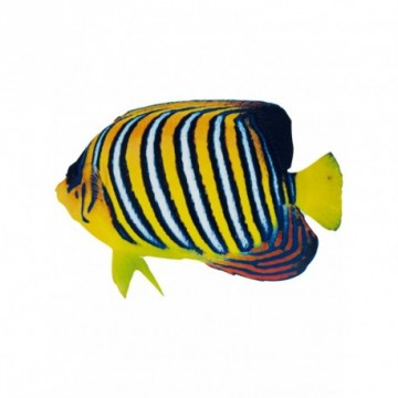 "Tropical fish ""angelfish"""